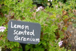 geranio limón