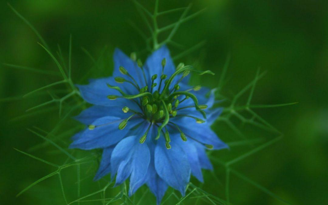 nigella sativa flor
